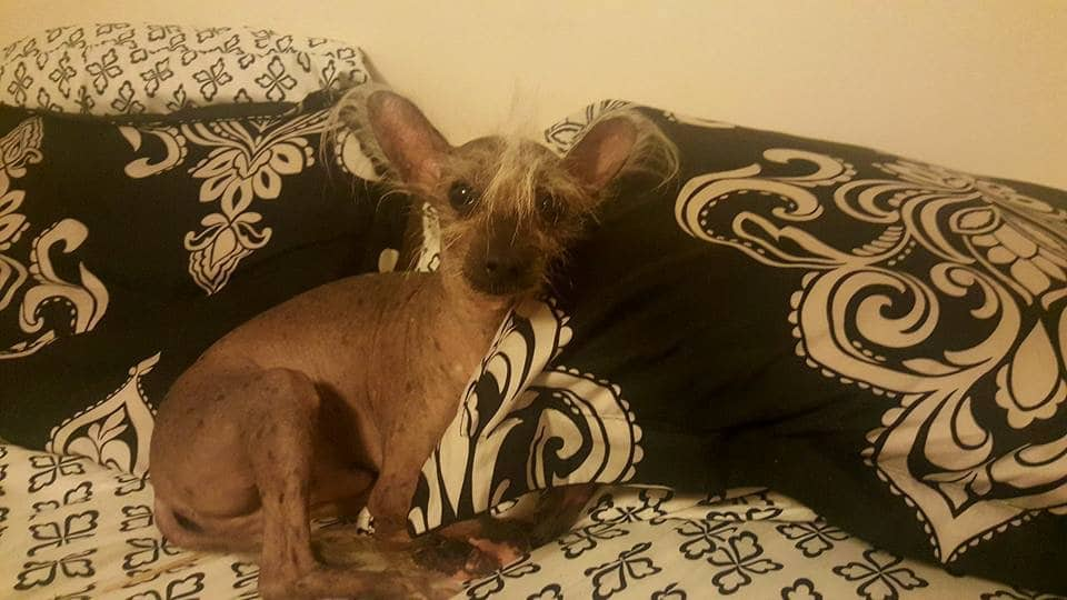 small chinese crested dog curls up at the top of a bed with some pillows
